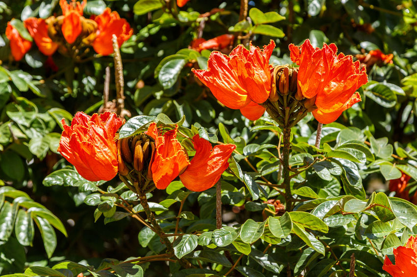 African Tuliptree Spathodea Beauty In Nature Blooming Close-up Day Flower Flower Head Fragility Freshness Green Color Growth Hibiscus Leaf Nature No People Orange Color Outdoors Petal Plant Poppy Red Stamen Sunlight