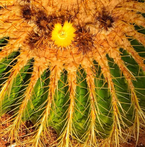 SPIKES & FLOWER ON BARREL CACTUS - Plant Growth Full Frame Beauty In Nature Nature No People Close-up Day Cactus Succulent Plant Freshness Green Color Fragility Flower Outdoors Spiked