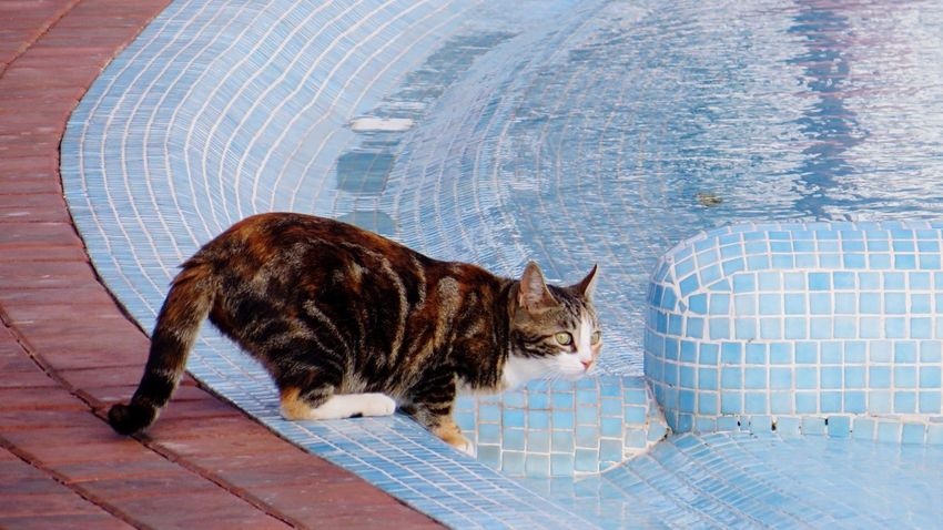 Cat taking a Drink from the Swimming Pool or thinking of going for a Swim ! Catsagram Cats Tortoiseshell Catsofinstagram Pets Animals Animal_collection