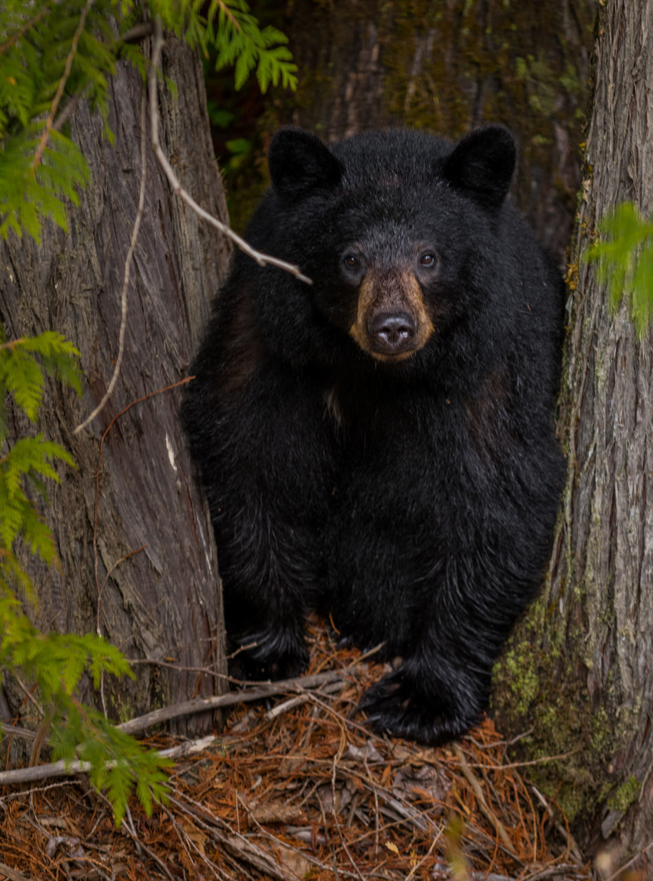 black color, animal wildlife, animal, bear, nature, one animal, no people, animals in the wild, mammal, forest, outdoors, close-up, animal themes, day