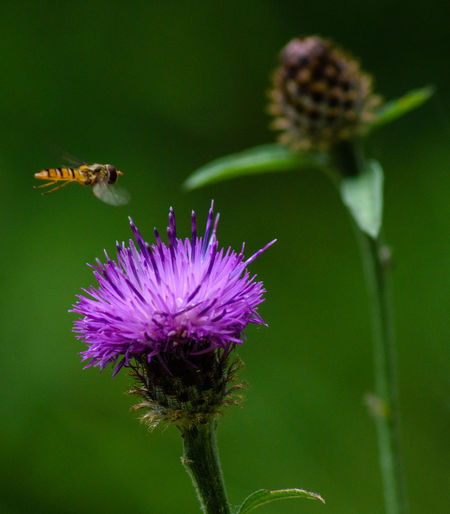 Coming in to land. Coming In To Land Thistles Flower Flower Head Flowering Plant Insect Insect In Flight Invertebrate Plant Pollen Pollination Purple Thistle Thistle Flower Thistleheads Wasp Wasp In Flight