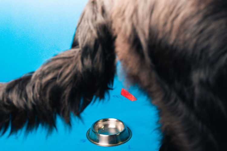 Close-up of a dog against blue background