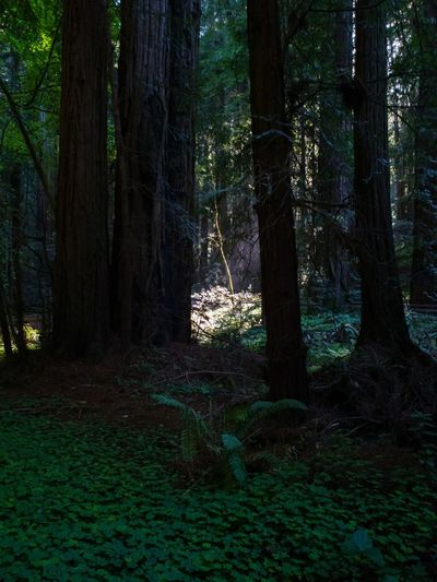 Redwood Forest light between the trees Forest Light And Shadow Ray Of Light Sun Through The Trees Deep Woods Hiking Lost in the Landscape Spotlight Through Trees Tree Illuminated Tree Area Branch Forest Tree Trunk Pinaceae Pine Tree WoodLand Lush Foliage Coniferous Tree Hiker Sunbeam Evergreen Tree Summer Exploratorium The Great Outdoors - 2018 EyeEm Awards