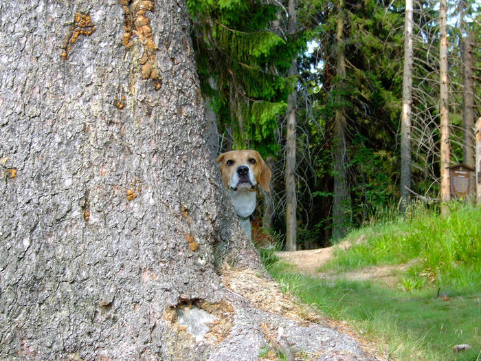 Forrest Photography Manrico Nature Animal Themes Beagle Day Dog Domestic Animals Forest Looking At Camera Mammal Nature No People One Animal Outdoors Pets Portrait Tree Tree Trunk Perspectives On Nature Perspectives On Nature Be. Ready. Summer Exploratorium