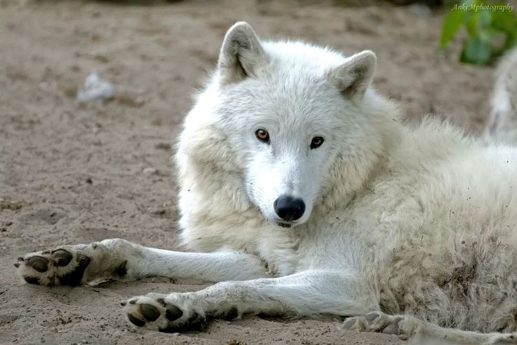 Peaceful Wolf Beautiful Animals Fotografie Cute Canonphotography Tierfotografie The Week On Eyem Tiere EyeEm Gallery White Wolves White Color Wolvesarelife The Photojournalist - 2016 EyeEm Awards Truly Peaceful Moments The Portraitist - 2016 EyeEm Awards Animal Portrait