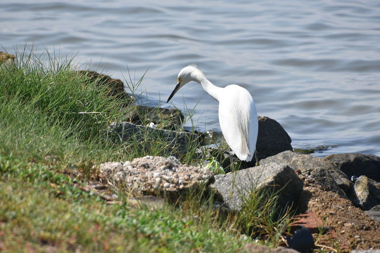Egret By Lake
