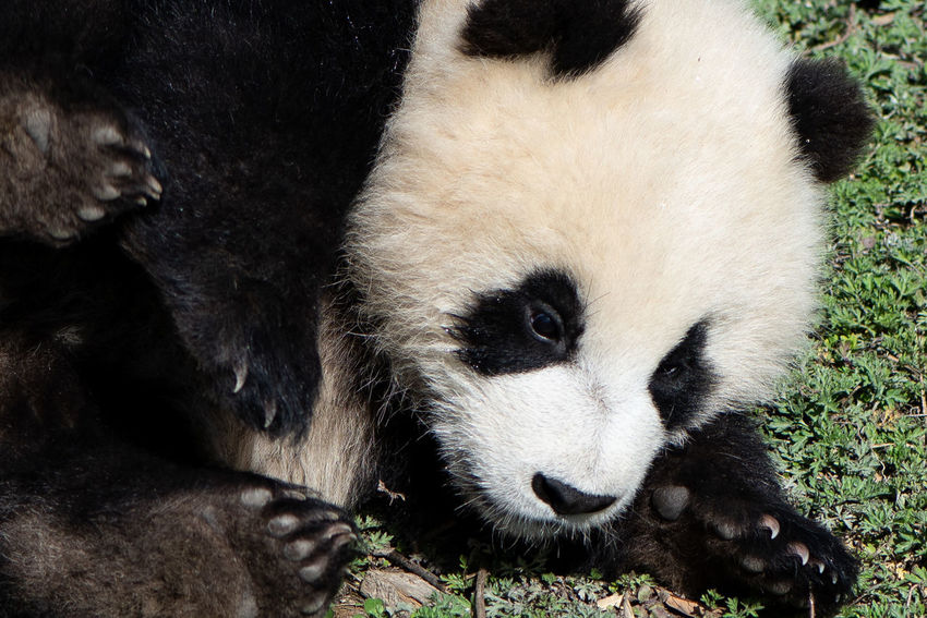 Close-up of a Giant Panda cub rolling down a grassy hill in Sichuan province, China. Endangered Species Grass Rural Animal Animal Wildlife Bear Black And White China Close-up Cuddly Cute Day Giant Panda Juvenile Nature Outdoors Panda Panda - Animal