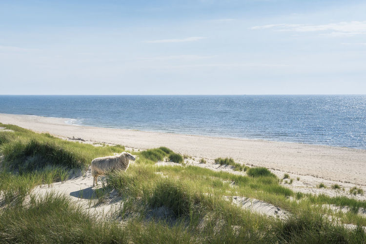 Full length of sheep standing at beach looking at sea