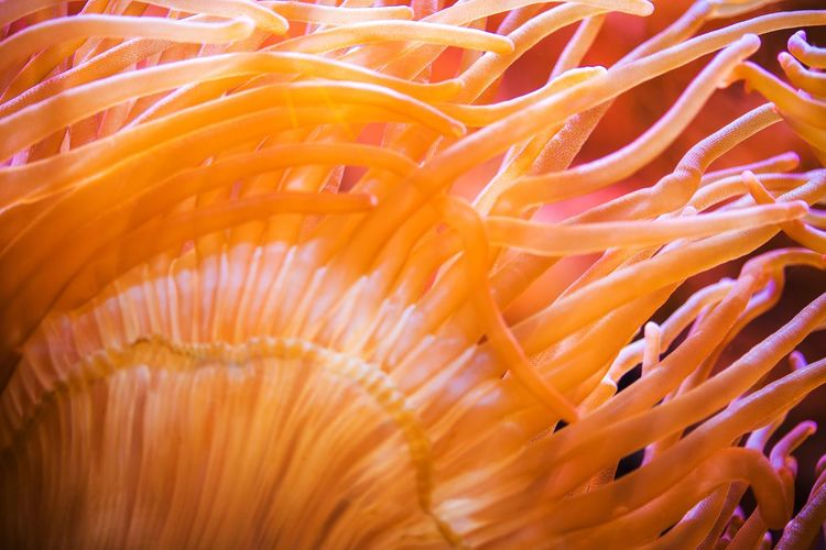 Bubble Sea Anemone Closeup. Marine Life. Coral Reef Photo Background Bubble Sea Sea Ocean Living Anemone Marine Life Nature Natural Beauty Sea Life Underwater Coral Sea Anemone Reef Close-up Beauty In Nature