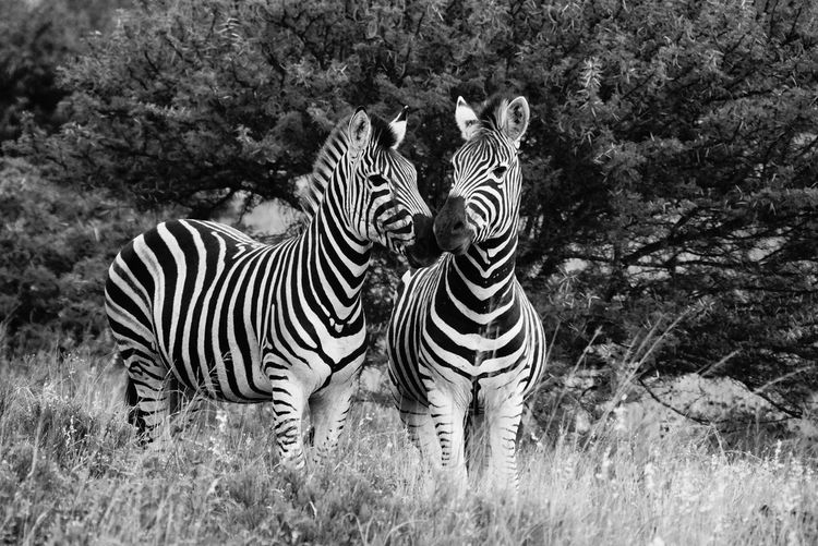 Zebras standing on field against trees at forest