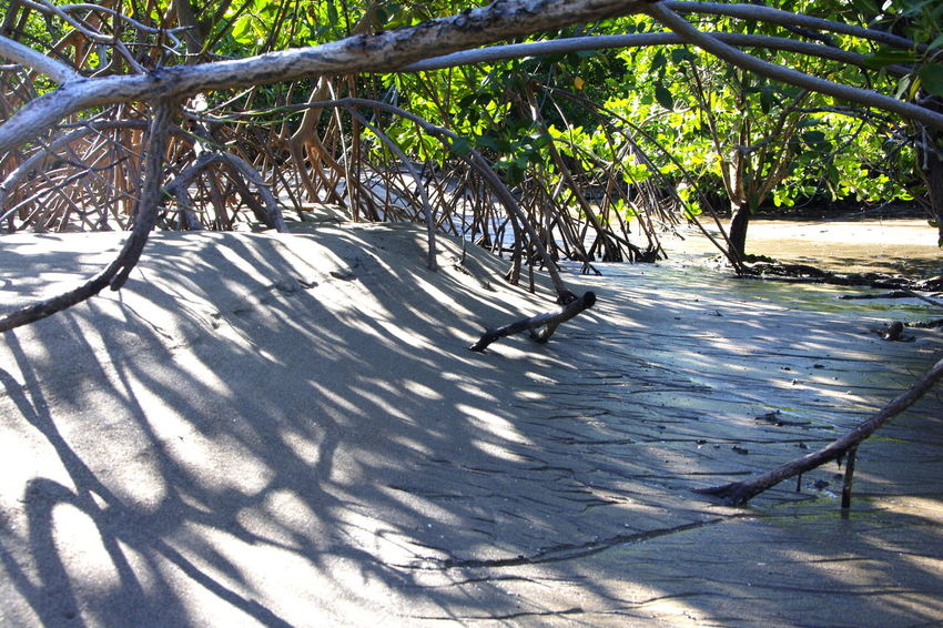 Sunlight through the mangrove roots Bird Island Mangrove Roots Nature Rhizophora Sand Sand And Mangrove Roots Sand Deposits Sedimentation Sunlight Tree