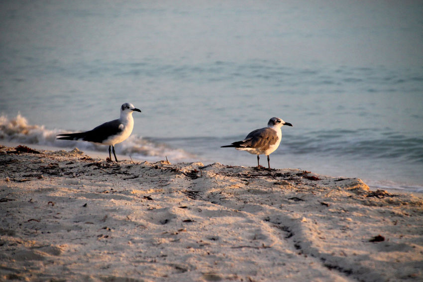 Morning Light Animal Themes Animal Wildlife Animals In The Wild Beach Beauty In Nature Bird Day Nature No People Outdoors Sea Seagull Water