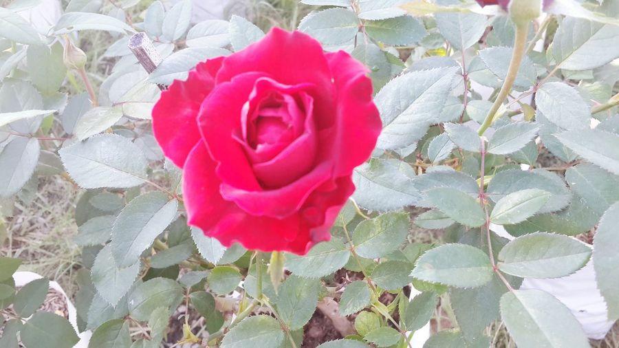 ดอกแดง Petal Flower Red Fragility Plant Nature Growth Beauty In Nature Pink Color Close-up Flower Head Freshness Leaf No People Day Outdoors Rose - Flower