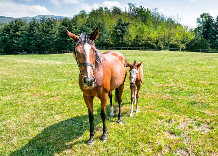 English Thoroughbred foal horse with mare on the field. Adult Baby Breeding English Thoroughbred English Thoroughbred Horse Horses Mare Animal Animal Wildlife Brown Day Domestic Domestic Animals Equine Field Group Of Animals Horse Land Mammal Nature Outdoors Purebred Horse Rural Scene Thoroughbred