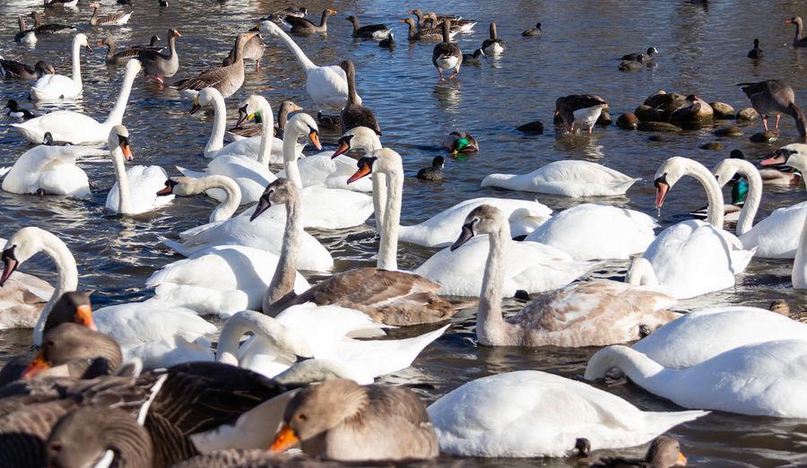 Large Group Of Animals Lake Swans Geese