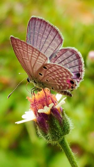 One Animal Animal Themes Animals In The Wild Insect Wildlife Butterfly Focus On Foreground Close-up Butterfly - Insect Flower Animal Wing Perching Fragility Pollination Zoology Nature Plant Freshness Beauty In Nature Outdoors Buterfly 🌺🌺🌺 Buterflyflowers Butterflies