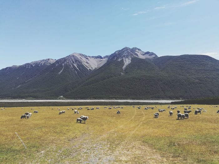 Flock of sheep grazing on mountains against clear sky