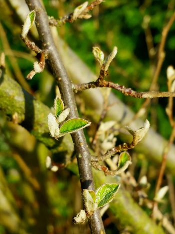 Nature Growth Plant Green Color Focus On Foreground No People Beauty In Nature Outdoors Close-up Day Tree Fragility Tendril Ladyphotographerofthemonth Beauty In Nature Leaf Still Life Shades Of Green  Fresh Green Leaves Springtime Awakening Of Nature Spring Branches And Leaves Branch With Fresh Green Leaves Green Background