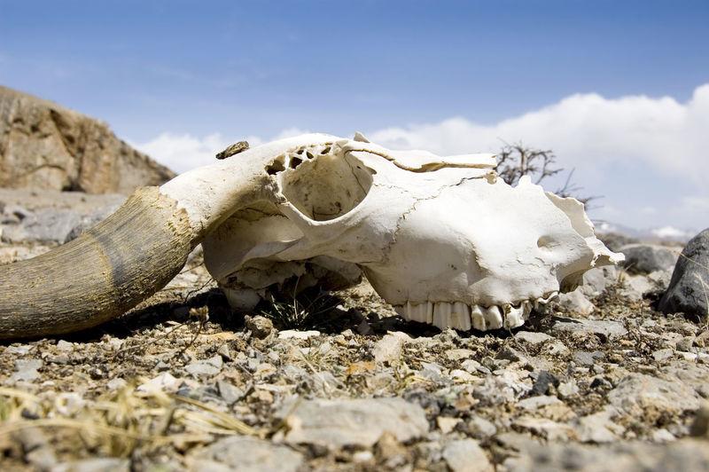 Animal Animal Body Part Animal Bone Animal Skeleton Animal Skull Animal Themes Animal Wildlife Bone  Day Field Land Mammal Nature No People One Animal Outdoors Selective Focus Sky Surface Level Vertebrate