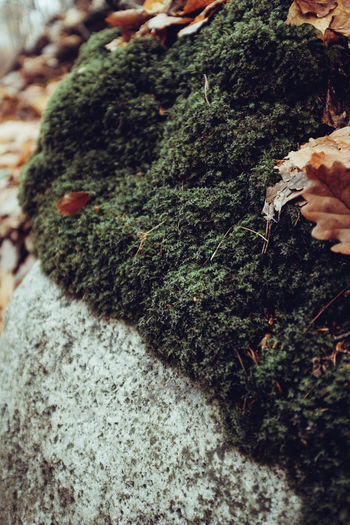 High angle view of moss growing on rock
