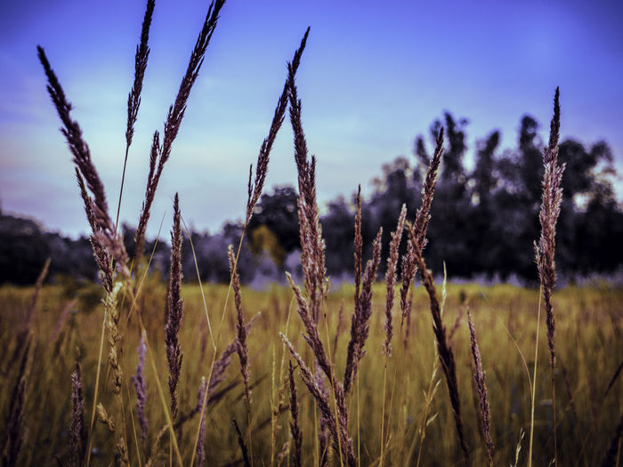 Growth Plant Tranquility Field Focus On Foreground Agriculture Beauty In Nature Nature No People Land Sky Crop  Landscape Farm Close-up Cereal Plant Rural Scene Day Tranquil Scene Environment Outdoors Stalk Oat - Crop