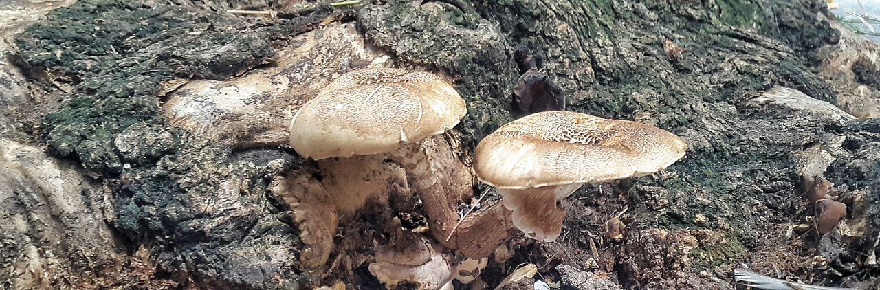 Hongos  Mushrooms Tree Mushrrom Mushroomphotography Arbol. Mushrooms 🍄🍄 Setas Hongo
