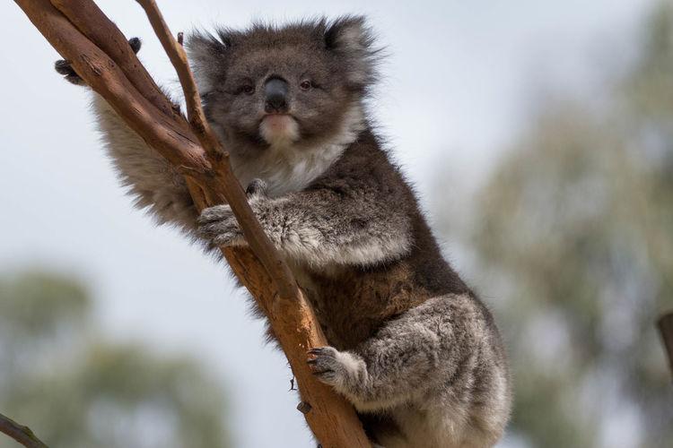 Low angle portrait of koala on branch