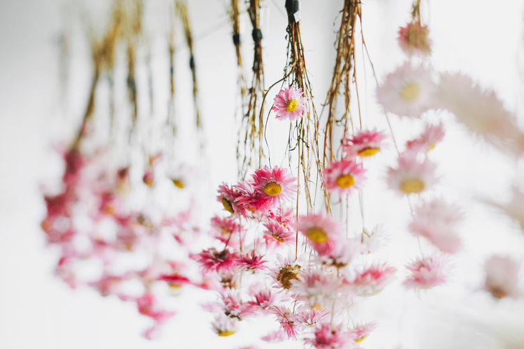 Pink flowers dry on rope near window, natural background