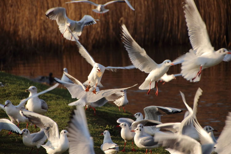 Taking the Biscuit Bird Photography Birds Of EyeEm  Fly Gulls Seagulls Animal Themes Animal Wildlife Animals In The Wild Arklow Arklow Bay Beauty In Nature Bird Day Duckpond Flock Of Birds Flying Food Large Group Of Animals Nature No People No People, Outdoors Spread Wings Water