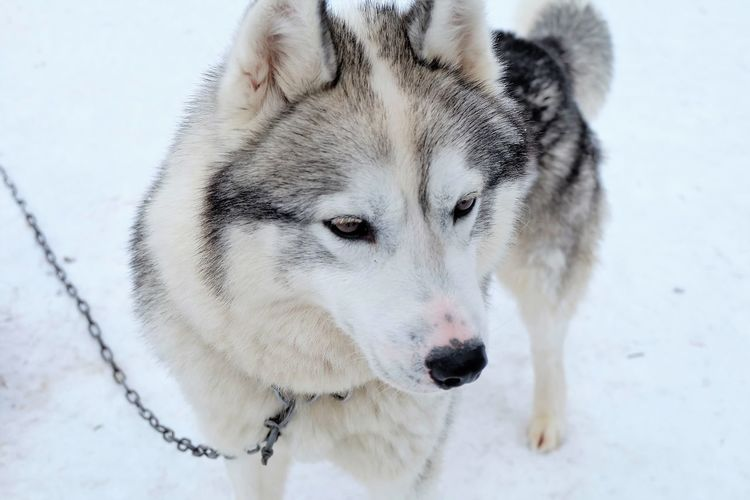 this husky is too adorable! Animal Themes Close-up Cold Temperature Day Dog Domestic Animals Mammal Nature No People One Animal Outdoors Pets Portrait Siberian Husky Sled Dog Snow Winter