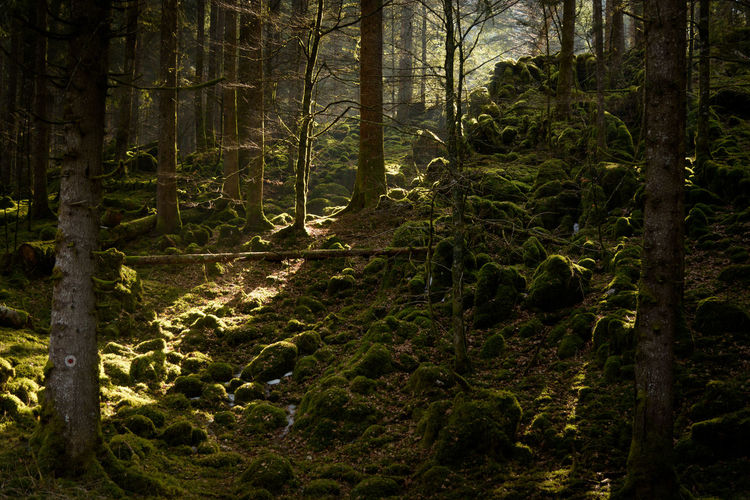 Erve Erve Miozzo Photo Miozzo Moss Sunlight Scenics - Nature Environment Non-urban Scene No People Outdoors Beauty In Nature Tranquil Scene Nature Tranquility Tree Trunk WoodLand Tree Forest Land Plant Trunk Growth Day Rainforest