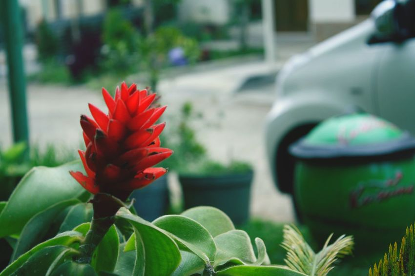 Red Flower Plant Nature Close-up Outdoors Day Beauty In Nature Batu Malang Batu Fragility Water No People Maple Leaf Freshness First Eyeem Photo The Great Outdoors - 2018 EyeEm Awards