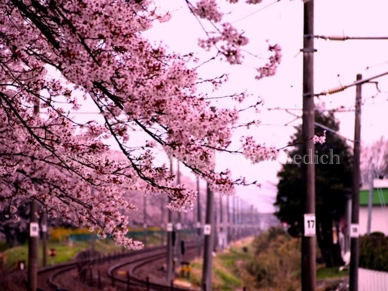 tree, cherry blossom, blossom, flower, pink color, cherry tree, springtime, nature, no people, branch, beauty in nature, outdoors, fragility, growth, plum blossom, sky, day, freshness, road, close-up