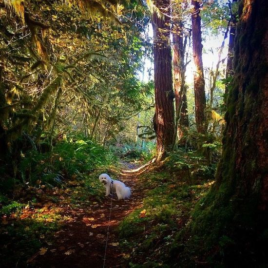 My dog Cannon Ball hiking with me through the National Forest. Bichon Frise Forest Nationalpark Hiking Washington State Pets Cute Pets Shadows & Lights Fairy Forest The Great Outdoors - 2015 EyeEm Awards