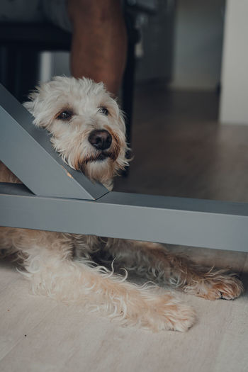 Sad white dog laying on a floor under a table, looking to the side. selective focus.
