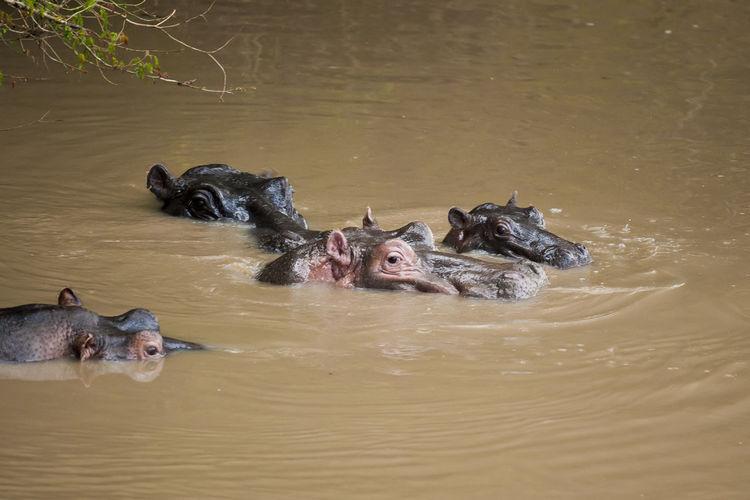 Hippopotamuses swimming in river
