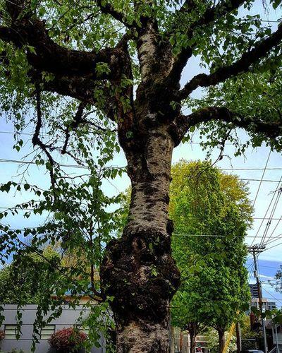 Tree Oregon Myoregon PNW Oregonexplored Pdx Samsung WestCoast Knottywood