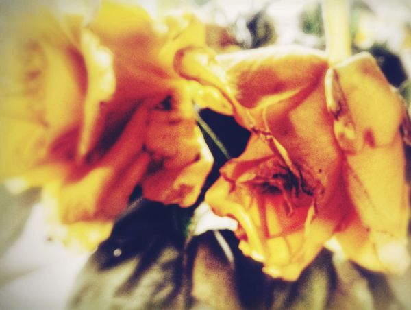 DayDream... Close-up Indoors  Yellow Roses They All Yellow Blurry On Purpose Simplicity