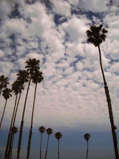 Tall & Short Palms Palms Palm Palmtrees Palmtree Tallandshort Bigandlittle Bluesky CA California Santabarbara Thelongandshortofit California Dreamin