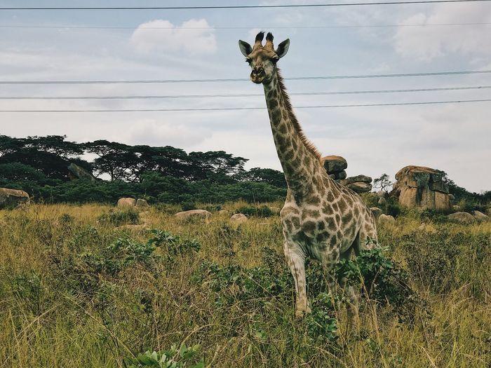 Giraffe On Field Against Sky