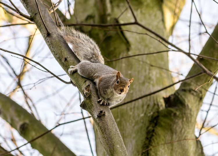 Grey Squirrel Climbing One Animal Animal Animal Wildlife Animal Themes Animals In The Wild Vertebrate Tree Mammal Branch Focus On Foreground Plant No People Nature Day Squirrel Low Angle View Rodent Outdoors Sunlight
