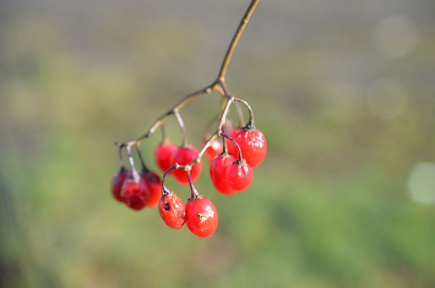 Freshness Nature Nature Collection Nature Photography Red Tree Wildlife & Nature Wildlife Photography Winter Berry Berry Fruit Berry Picking Berry Trees Berrys Fresh Fruit Fruits Nature Lover Nature_collection Naturelover Naturelovers Naturephotography No People Red Color Wildlife