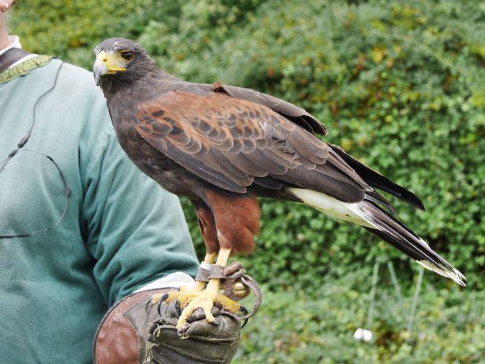Close-up of hawk perching on human hand