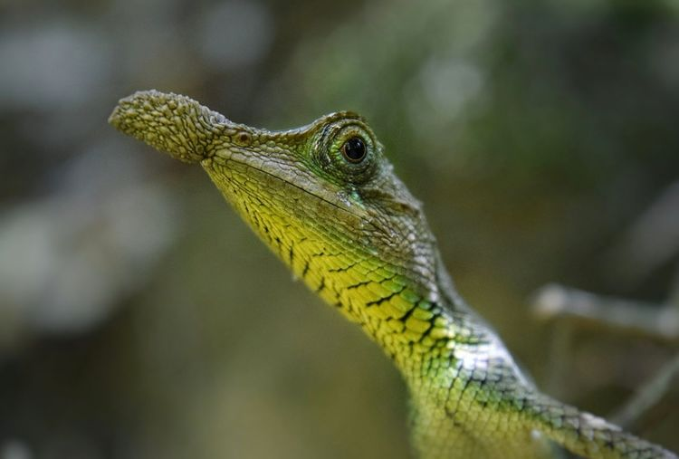 Profile photo of a peculiar Leaf Nosed Lizard Animal Themes Animal Animal Wildlife Animals In The Wild Reptile Close-up Vertebrate Focus On Foreground Animal Body Part Lizard Day Animal Head  Nature Outdoors Animal Scale Profile View Animal Eye Lizard Lizards Reptile Reptiles Leaf Nosed Lizard