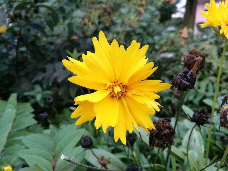 Flower Yellow Nature Freshness Flower Head Beauty In Nature