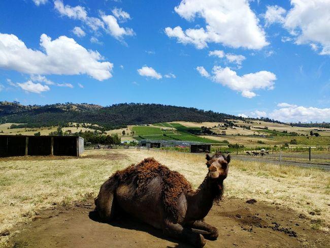 Camel Cloud - Sky One Animal Outdoors Animal Themes Nature Happiness Tasmania Australia Clear Sky Nature
