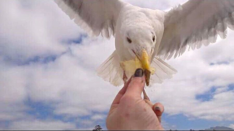 Seagull Wants My Chip Human Hand Holding Human Body Part One Person Real People One Animal Outdoors Sky Animal Themes Day Cloud - Sky Easter Lifestyles Feed The Birds Sea And Sky Seagull Food Close-up Bird Spread Wings People Adult
