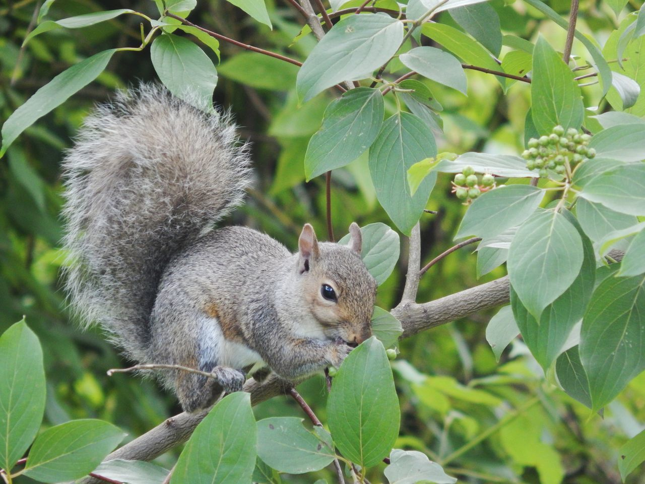leaf, squirrel, nature, one animal, mammal, animals in the wild, plant, outdoors, no people, animal themes, day, close-up, tree