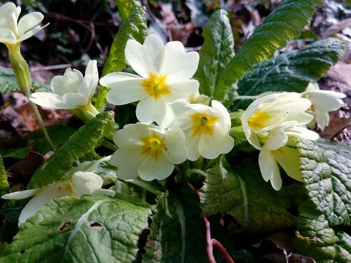 Fleur Flower Fleur ♡ Fleurs Nature Printemps Beauty Nature Beauty In Nature Jaune Jaune🌻 Yellow Flower Yellow Primevère