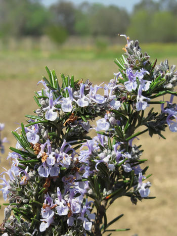 Rosemary plant with flowers in Tuscany, Italy Agriculture Aroma Aromatic Blossom Cooking Flavorful Flower Food Green Herb Ingredient Italy Nature Odoriferous Ornamental Garden Plant Purple Rosemary Rosemary Flowers Savory Blooming Spice Spring Tuscany Vegetable Violet